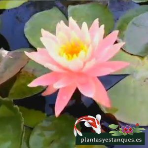 Nymphaea Sunny pink